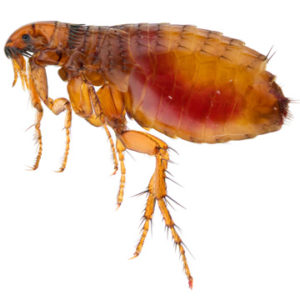 what to do about fleas in home