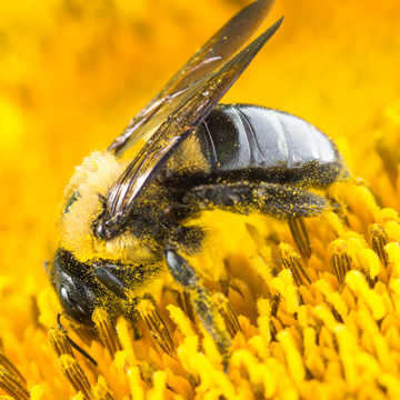 whats the deal with carpenter bees