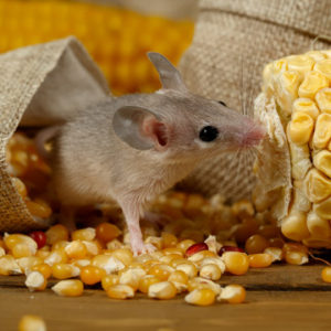mouse droppings can make you sick