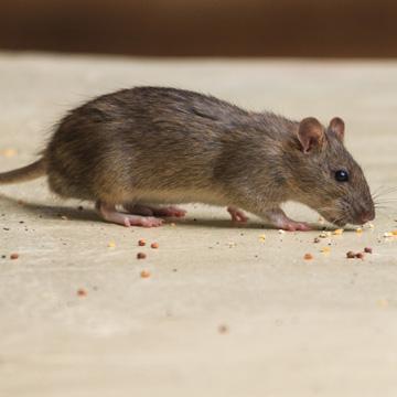 mice in apartment