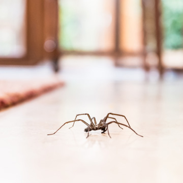 why do i get spiders