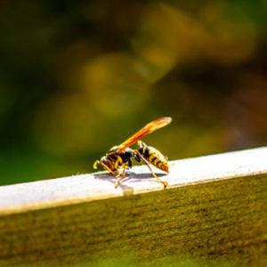 avoid stinging pest